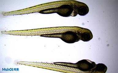 明美荧光显微镜应用于上海市公共卫生临床斑马鱼观察