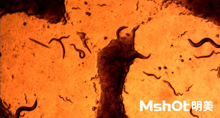倒置显微镜下的秀丽丝虫