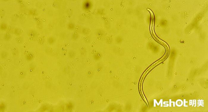 倒置显微镜下的线虫