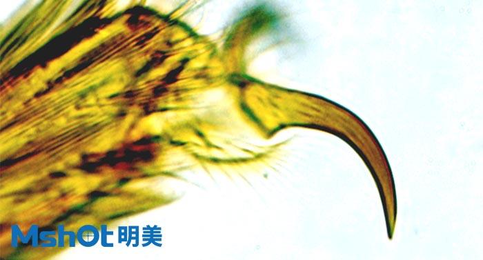 生物显微镜下的蚊子脚