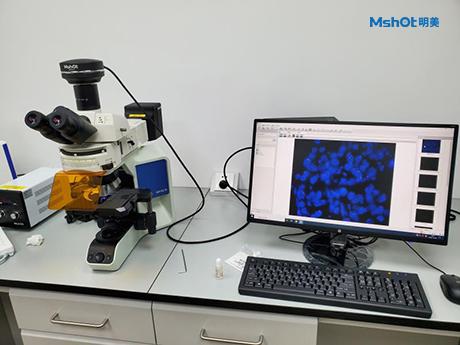 明美荧光显微镜|显微镜相机用于FISH研究
