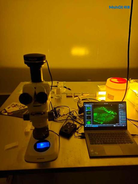 明美体视荧光显微镜MZX81用于小鼠荧光观察