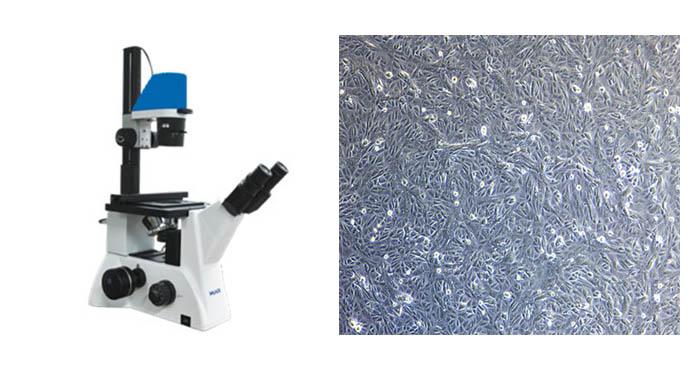 明美倒置显微镜用于研究狂犬病毒